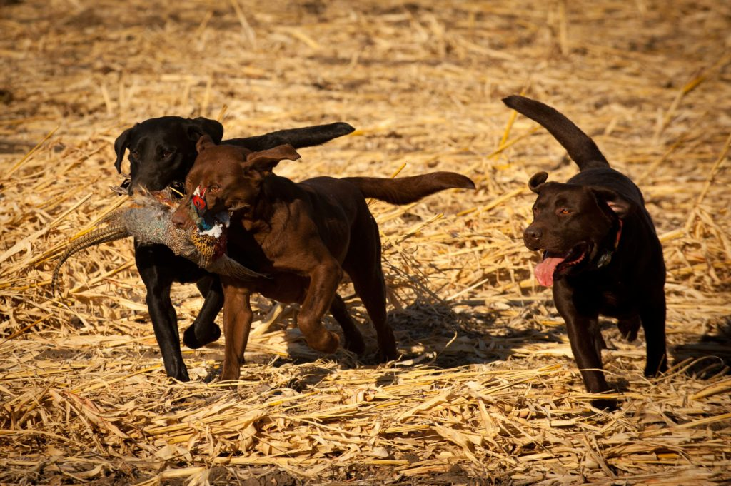 pheasant hunting dogs